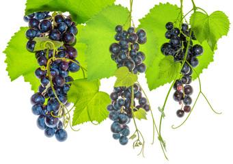 Fototapete - vigne et grappes de raisin rouge