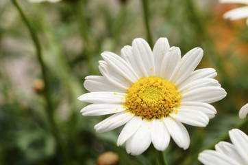 White daisy flowers for background