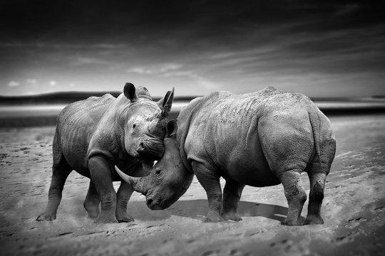 Two rhinoceros fighting head to head monochrome image