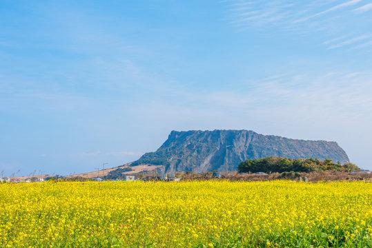 Canola field at Jeju Do Seongsan Ilchulbong, Jeju Island, South Korea
