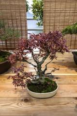 Bonsai Acer palmatum (shishigashira)