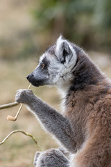 Animal intelligence. Funny image of an intelligent lemur contemplating life with a fake smoking pipe.