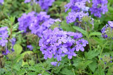 Purple Verbena Flowers Blooming in a Garden