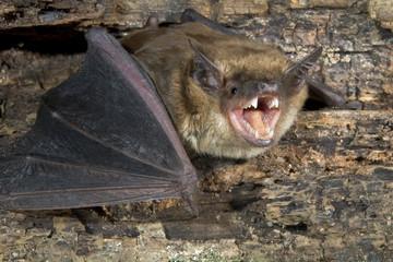 Big brown bat (Eptesicus fuscus) portrait, Atlanta, Georgia, USA