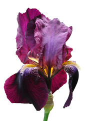 Photo sur Toile Iris iris flower
