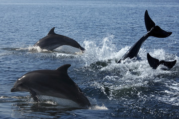 Bottlenosed Dolphin (Turslops aduncus) - Sandwich Bay - Namibia