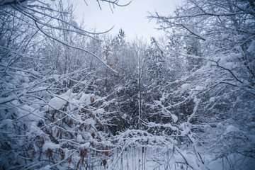 Snow-covered forest on a winter day