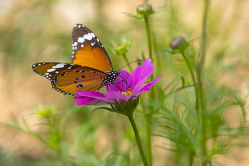 Common Tiger butterfly on pink flower