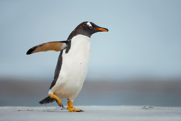 Gentoo penguin walking on a sandy beach with the wings up, Falkland Islands.