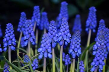 grape hyacinth muscari armeniacum flowering in early spring macro of blue muscari flower meadow