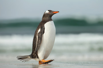 Gentoo penguin walking on a sandy ocean shoreline, Falkland Islands.