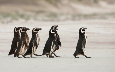 Magellanic penguins heading out to sea for fishing on a sandy beach, Falkland Islands.