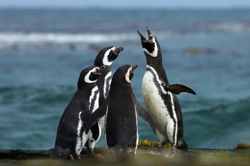 A group of Magellanic penguin gather on a rocky coast of Falkland islands.