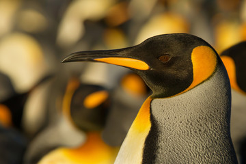 Portrait of an adult King penguin near the colony, Falkland Islands.
