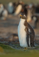 Gentoo penguin chick standing near penguin colony, Falkland Islands.