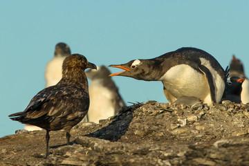 Falkland Skua attacking Gentoo penguin and a chick, Falkland Islands.