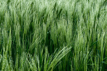 Close up of a green barley with dew drops