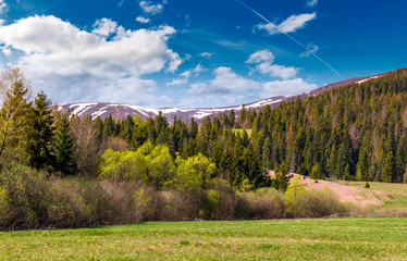 spruce forest at the foot of the mountain with snowy tops. lovely springtime nature scenery of Carpathian mountains