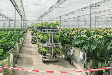 Growing Anturiums in a large greenhouse in the Netherlands
