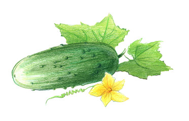 Cucumber with leaves and a flower. Drawing with colored pencils, isolated on white background