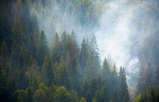 spruce forest on hillside in smoke. lovely nature disaster background