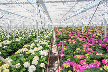 Growing hydrangea in a large greenhouse in the Netherlands