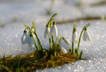 Gentle snowdrops flowering from the snow