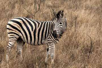 Zebra in Kruger Park South Africa