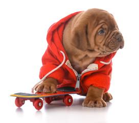 male dogue de bordeaux puppy