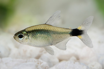 Kitty tetra Hyphessobrycon heliacus tropical aquarium fish