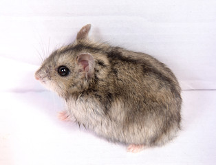 Djungarian hamster in sawdust on white background