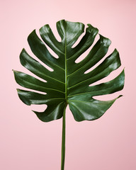 Tropical Foliage Monstera Leaf on Pale Pink Background