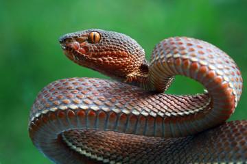 Mangrove pit viper snake, snake closeup, viper