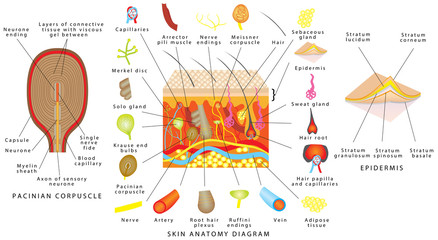 Skin anatomy diagram