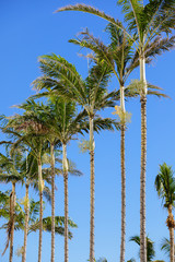 Row of palm trees on a blue sky