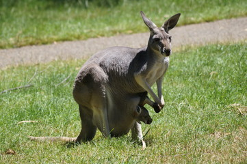 Grey Kangaroo with Joey