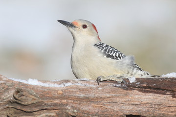 Fotoväggar - Woodpecker on a Log