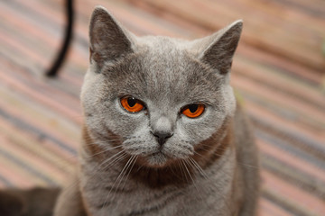 british cat with orange eyes