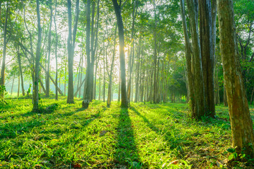 forest with sunlight background. Nature and outdoor background