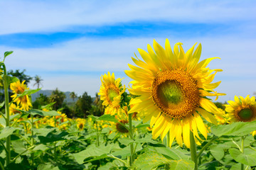 Sun flower at flower farm in Thailand. Agriculture flower farm in Thailand. Nature flower background