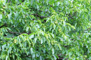 walnut tree detail..