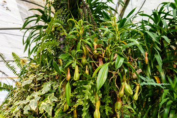 nepenthes plant,monkey cups the tropical plant, dangerous plants for insect