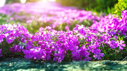 Wall Mural - Flower with sunlight in spring. Nature background in spring.