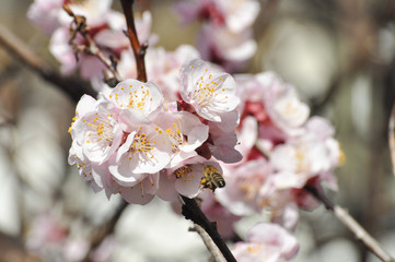 Peach branches in full bloom Blooming tree in spring