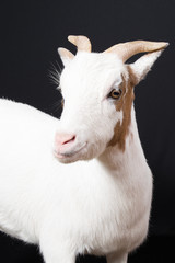 white female goat in black background