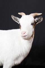 domestic white goat portrait