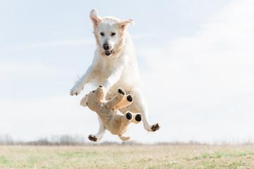 Jumping golden retriever