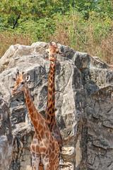 Two giraffes standing.