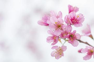 Wild Himalayan Cherry, Beautiful pink flower