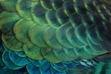 closeup peacock feathers (Green peafowl)